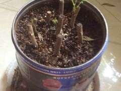 室内扦插的紫藤下山桩发芽了 可以吗 图片