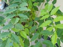 紫藤下山桩叶子这是怎么了 边缘发黄
