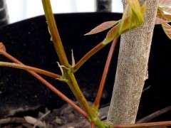 紫藤下山桩打顶了 又发芽了 可以吗