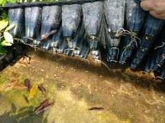 扦插的紫藤下山桩生根了 怎么样 图片