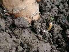 紫藤下山桩根上来芽了 希望能活 图片