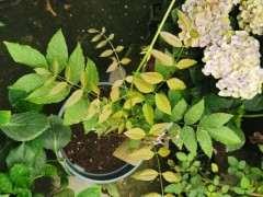 紫藤下山桩能种楼顶吗 怎么种植 图片