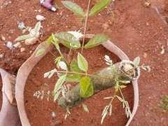 紫藤下山桩枝条扦插容易存活吗 图片