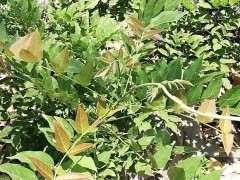 为什么紫藤下山桩地栽5年不开花 图片