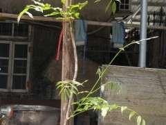 为什么紫藤下山桩开花一般5-10年 图片