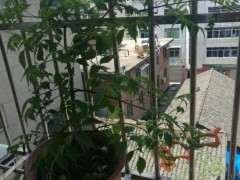 阳台栽种紫藤下山桩 怎么样 图片
