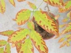 紫藤下山桩叶子一圈发黄枯死 怎么办 图片