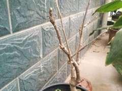 紫藤下山桩还没有发芽 怎么办 图片