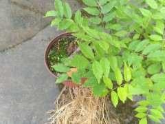 为什么紫藤下山桩的根长得很快 图片