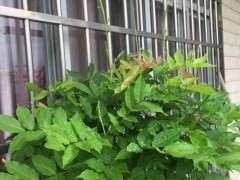 这个紫藤下山桩枝条要剪掉吗 图片