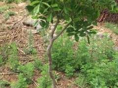 紫藤下山桩新移栽缓苗慢 怎么办 图片
