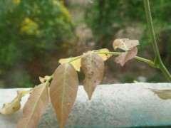 紫藤下山桩嫩叶上长了虫子 怎么办 图片