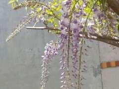 紫藤下山桩养了5年 还没开花 怎么办 图片