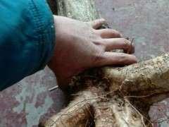 扦插紫藤下山桩用什么生根粉 最好 图片