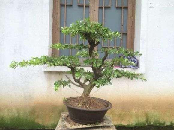 扬州盆景批发 价格便宜 欢迎选购 图片