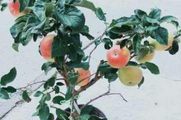 苹果盆景批发基地 厂家直销 价格便宜