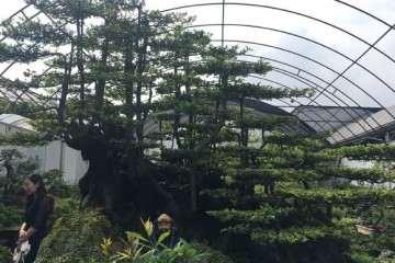 温江盆景批发市场 丛林金弹子 200万