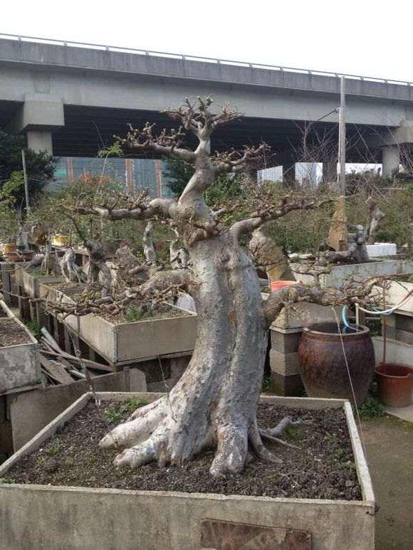 福建榆树盆景批发 需要和我联系 图片