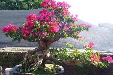 哈尔滨哪里批发盆景花卉便宜 图片