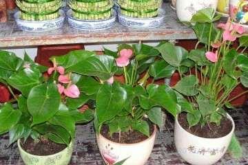 库尔勒有盆栽花卉批发市场吗 在哪里