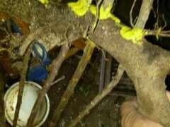 怎么用栀子下山桩扦插制作丛林盆景