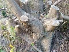 丛林朴树下山桩 被谁砍了 怎么办 图片