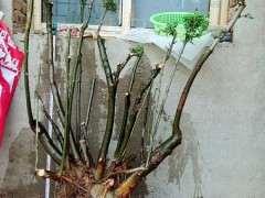 朴树下山桩能不能作丛林盆景 图片