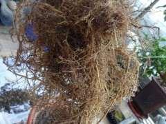 栀子下山桩怎么假植到盆里的方法 图片