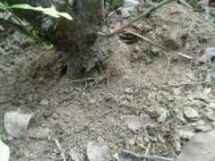 找到几棵山栀子下山桩 怎么样 图片