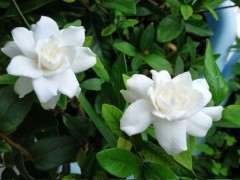 小叶桅子下山桩一年能开多次花吗 图片