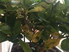 栀子下山桩花底部叶子发黄怎么办 图片