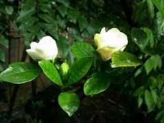 这是什么品种栀子下山桩花 图片