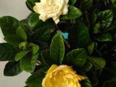 栀子花是纯白色 还是黄色 图片