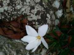 山上的栀子花下山桩开花 可以吗 图片