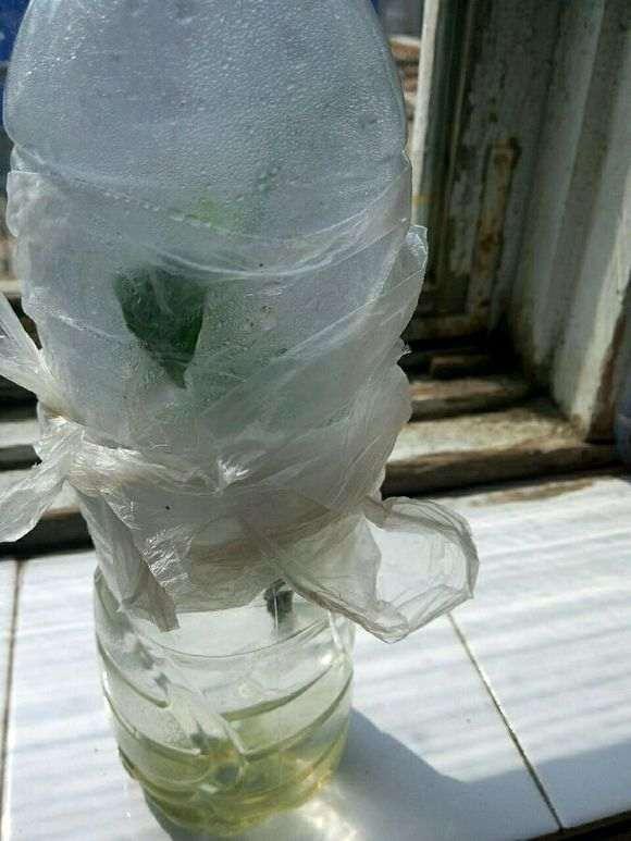 水培栀子花怎么生根的方法
