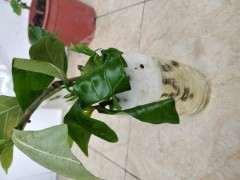 水插栀子花可以移栽到花盆吗 图片