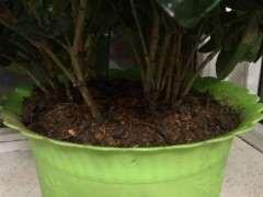 大叶栀子下山桩怎么换土分盆的方法 图片