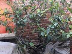 栀子花下山桩树怎么移栽的方法 图片