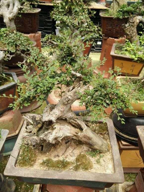 雀舌栀子花下山桩和榄叶有什么区别 图片
