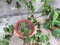 夏天栀子花怎么浇水的方法 图片
