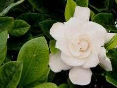 水栀子花怎么栽培的方法 图片
