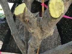 栀子下山桩沙培缠膜 老不长叶子 图片