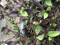 栀子下山桩叶子变成褐色了 怎么办 图片