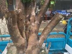 海棠下山桩树桩缠膜可以吗 天气热