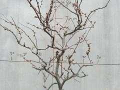 为什么海棠下山桩造型都是丛生桩 图片