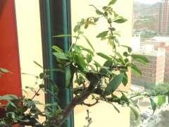 夏季海棠下山桩就开始掉叶子怎么办 图片