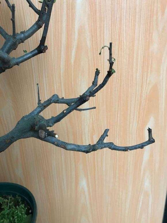 海棠下山桩老是失枝 怎么办 图片