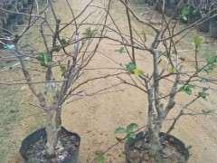 海棠下山桩  非常的美 漂亮极了 图片
