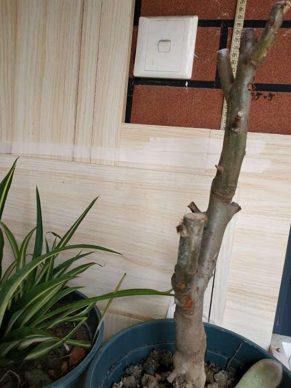 一个多月前买的海棠下山桩 怎么样 图片