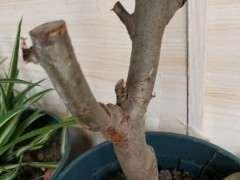 一个多月前买的海棠下山桩 可以吗 图片
